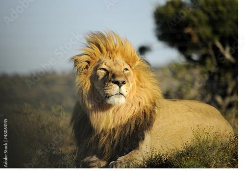 Lo sguardo fiero del leone