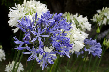 Agapanthus midnight blue flower
