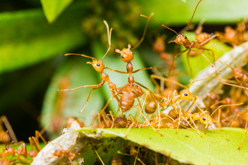 Red Ants in nest