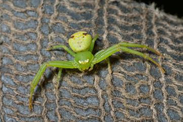 Green spider 5