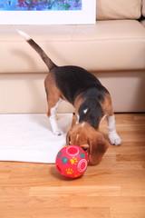 Female Beagle puppy