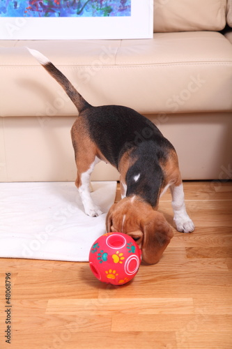 Female Beagle puppy