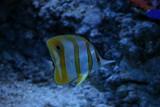Fototapeta Do akwarium - Ryba tropikalna © meisone
