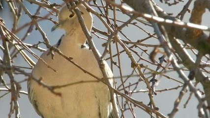 tortora sul ramo