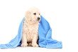 A little labrador retriever dog covered with blue towel