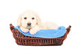 A little labrador retriever dog in a basket