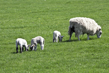 Triplet lambs with ewe