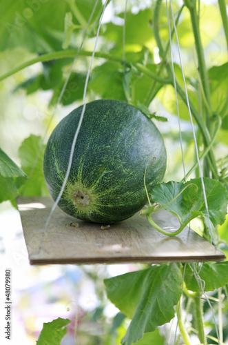 greenhouse melon
