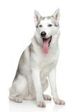 Siberian Husky on white background