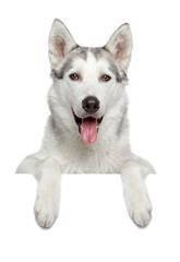 Happy husky dog portrait