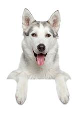 Happy husky dog portrait
