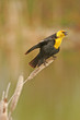 Yellow-headed Blackbird male (Xanthocephalus xanthocephalus)