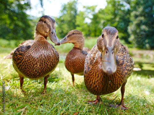 charming ducklings