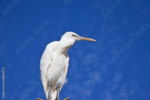 Little Egret against blue sky and white cloud