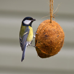 Great Tit on a coconut feeder.