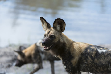 Two wild dogs by the water tracking the pack