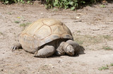 Land Tortoise grazing on soil