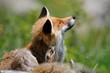 fox scratching