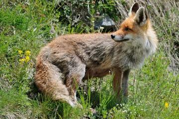 Red fox (Vulpes vulpes) in summer
