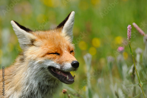 red fox smiling