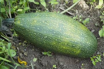 Zucchini;