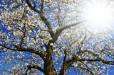 Fototapeta niebo - krzew - Drzewo