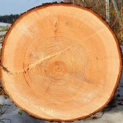 Jahresringe am Baumstamm