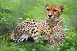Cheetah resting on grass in zoo