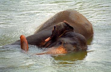 Elephant bathing, Pinnewala, Sri Lanka