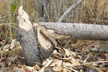 Work of a beaver