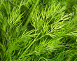 Green leaves of dill