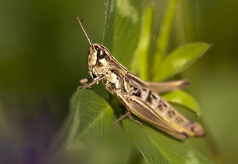 Small locust resting on a leaf