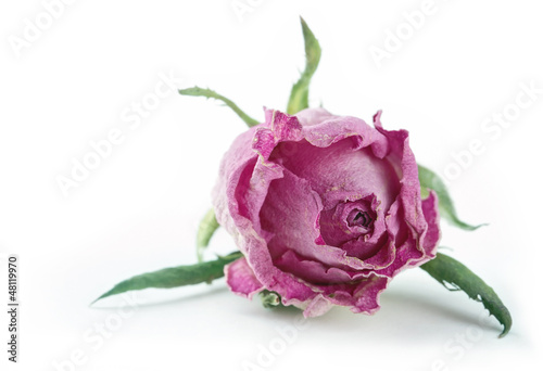 Single faded pink rose on white background