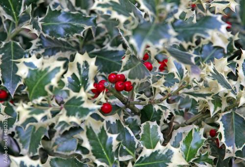 spiny leaves a Christmas Holly and red berries