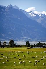 New Zealand sheep farm