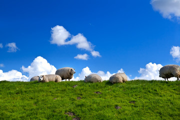 sheep on green pasture over blue sky