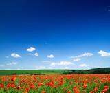 Fototapety poppy flowers