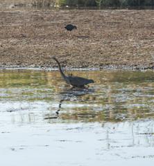 Grey Heron stood on a riverbank