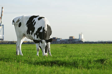 Black and white Holstein cow grazing