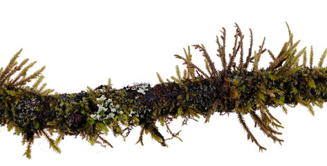 Mossy twig with algae, lichen isolated over white background - m