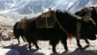 Yak caravan in Everest Base Camp