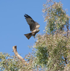 Black kite flying over a tree