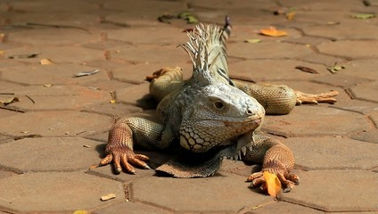Iguana on the ground.