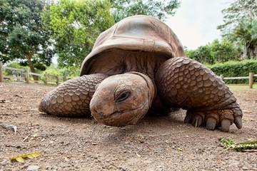 Aldabra giant tortoise (Aldabrachelys gigantea)