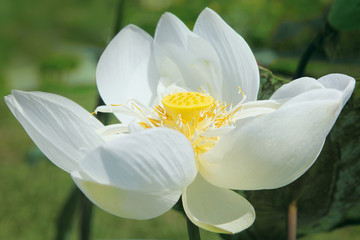 Lotus, close-up, sunny day
