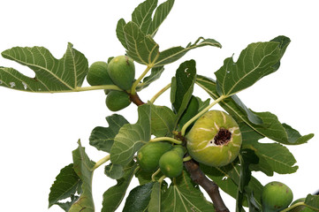natural ripe fruit on the fig tree