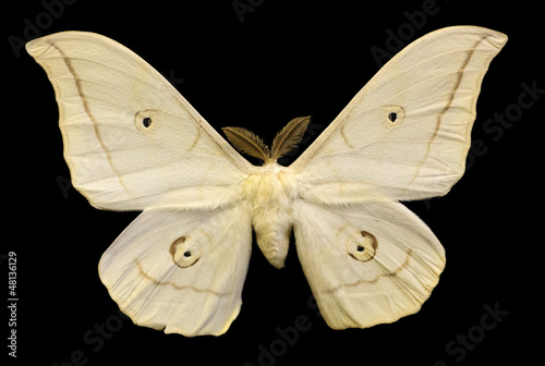 light beige butterfly isolated on black