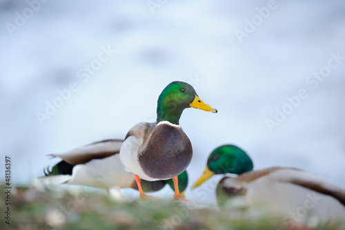 Male Mallard Ducks