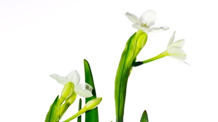 white narcissus blossoms, time-lapse