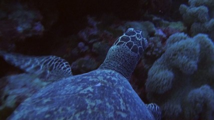 Hawksbill turtle from above